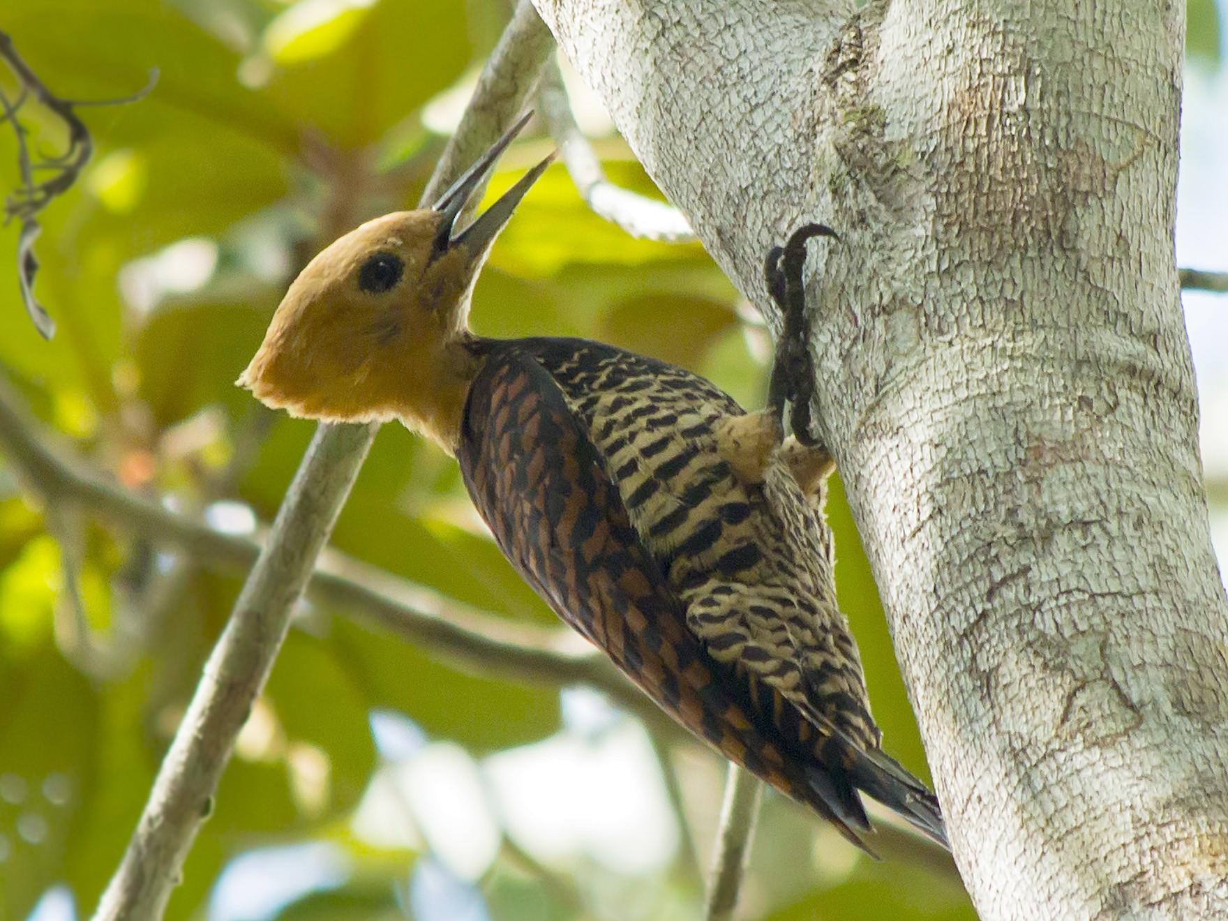 Ringed Woodpecker - Gabriel Bonfa