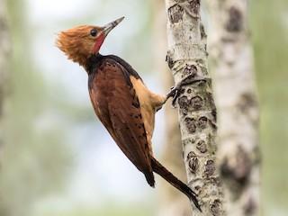 - Ringed Woodpecker