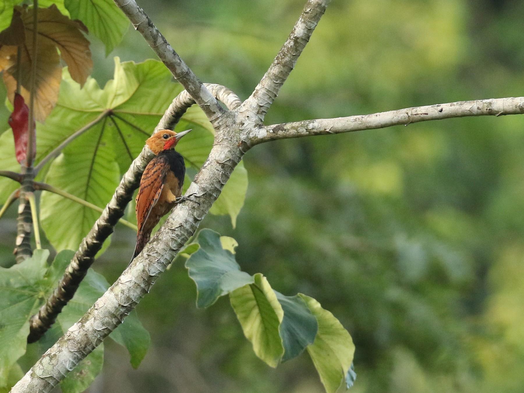Ringed Woodpecker - Luke Seitz