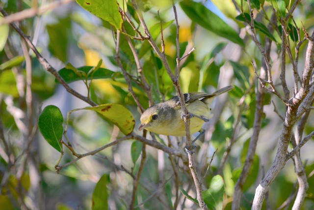 Mangrove Vireo