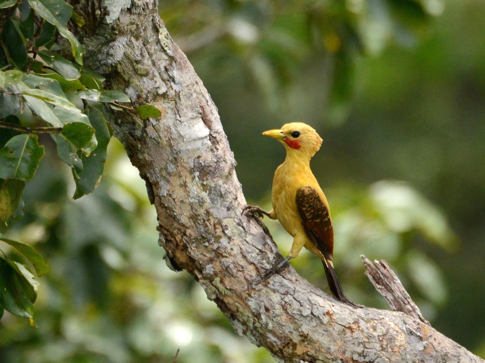 Cream-colored Woodpecker - Alan Van Norman