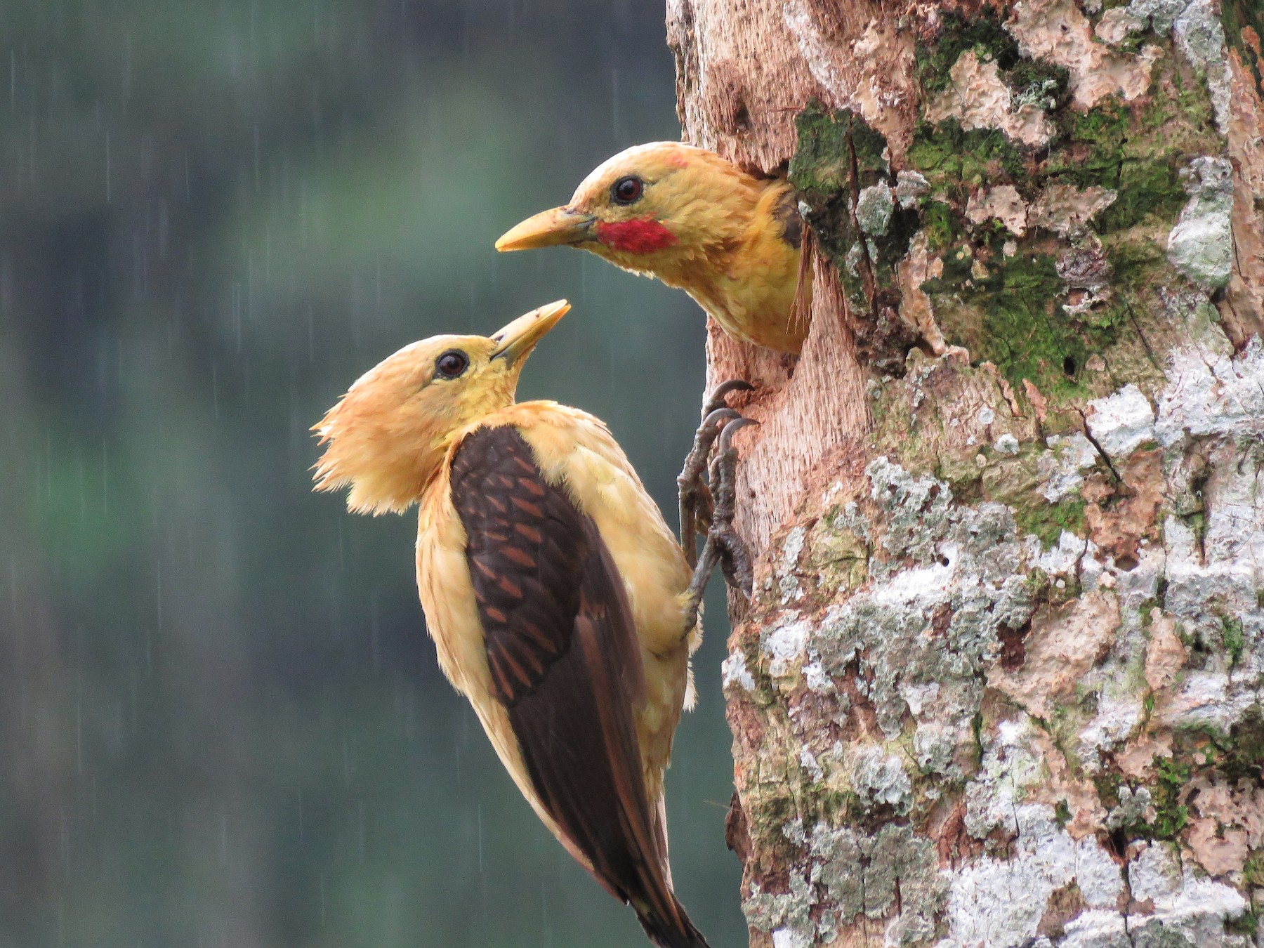 Cream-colored Woodpecker - Hernán Álvarez