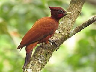 - Chestnut Woodpecker