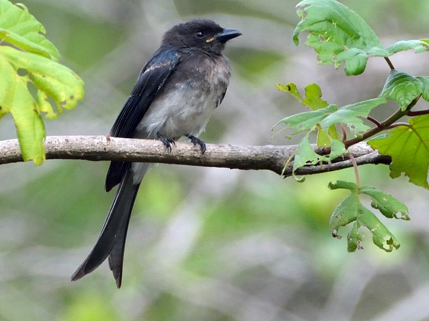 White-bellied Drongo - Anonymous eBirder