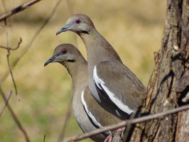 White-winged Dove