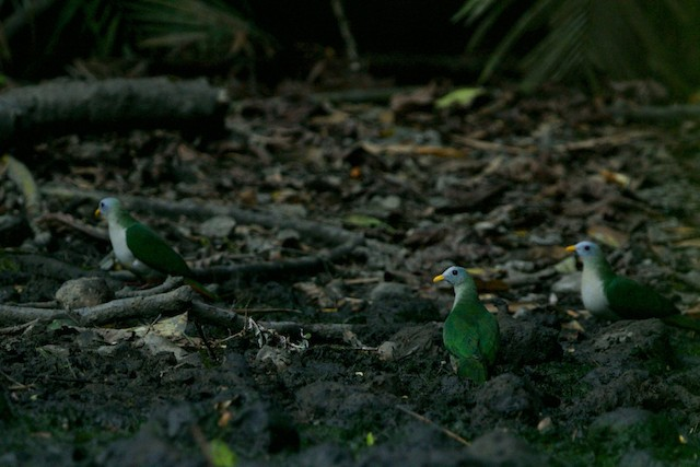 Maroon-chinned Fruit-Dove