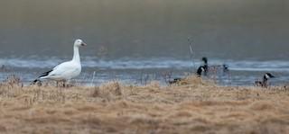 Snow Goose, ML148126991