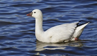 Ross's Goose, ML148375451
