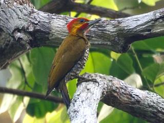 - White-throated Woodpecker