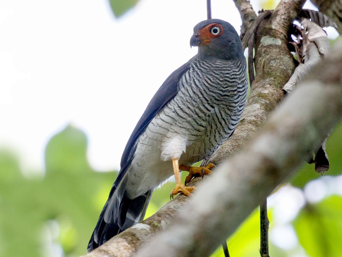 Lined Forest-Falcon - Silvia Faustino Linhares