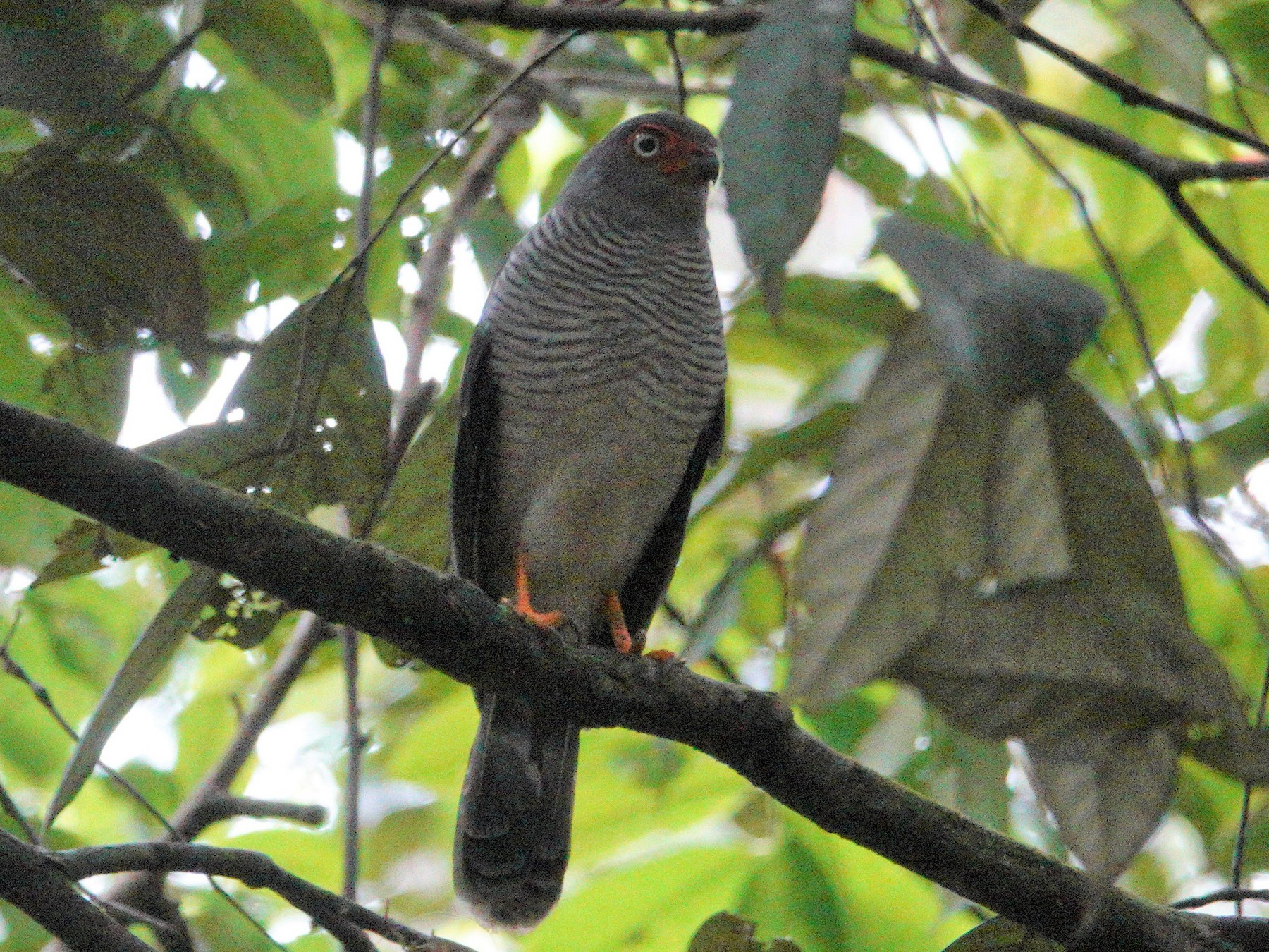 Lined Forest-Falcon - Nancy Cox
