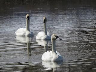 Trumpeter Swan, ML148530651