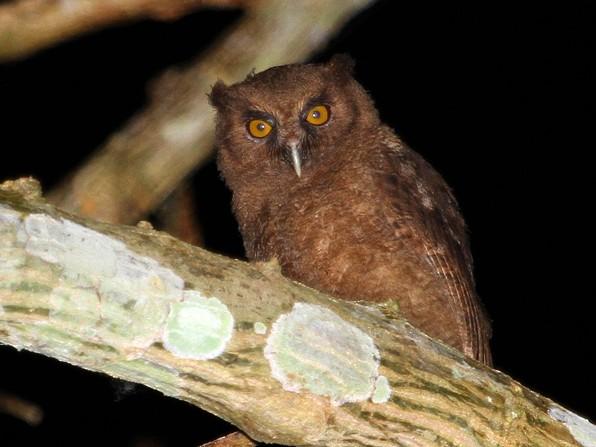 Tawny-bellied Screech-Owl - Juanma Dominguez