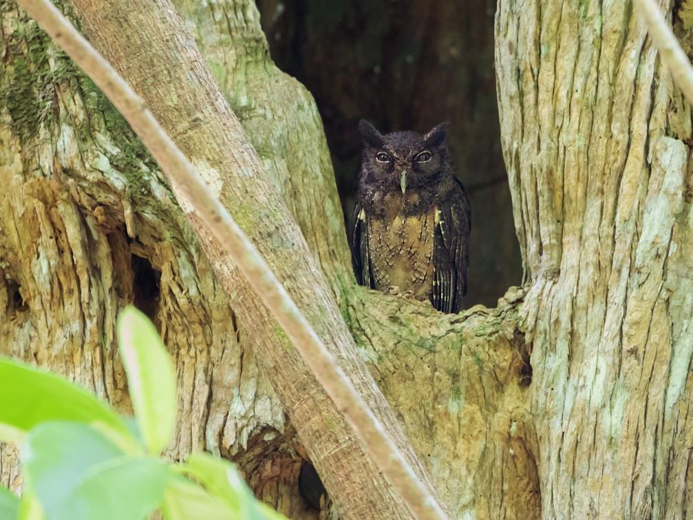 Tawny-bellied Screech-Owl - Norton Santos