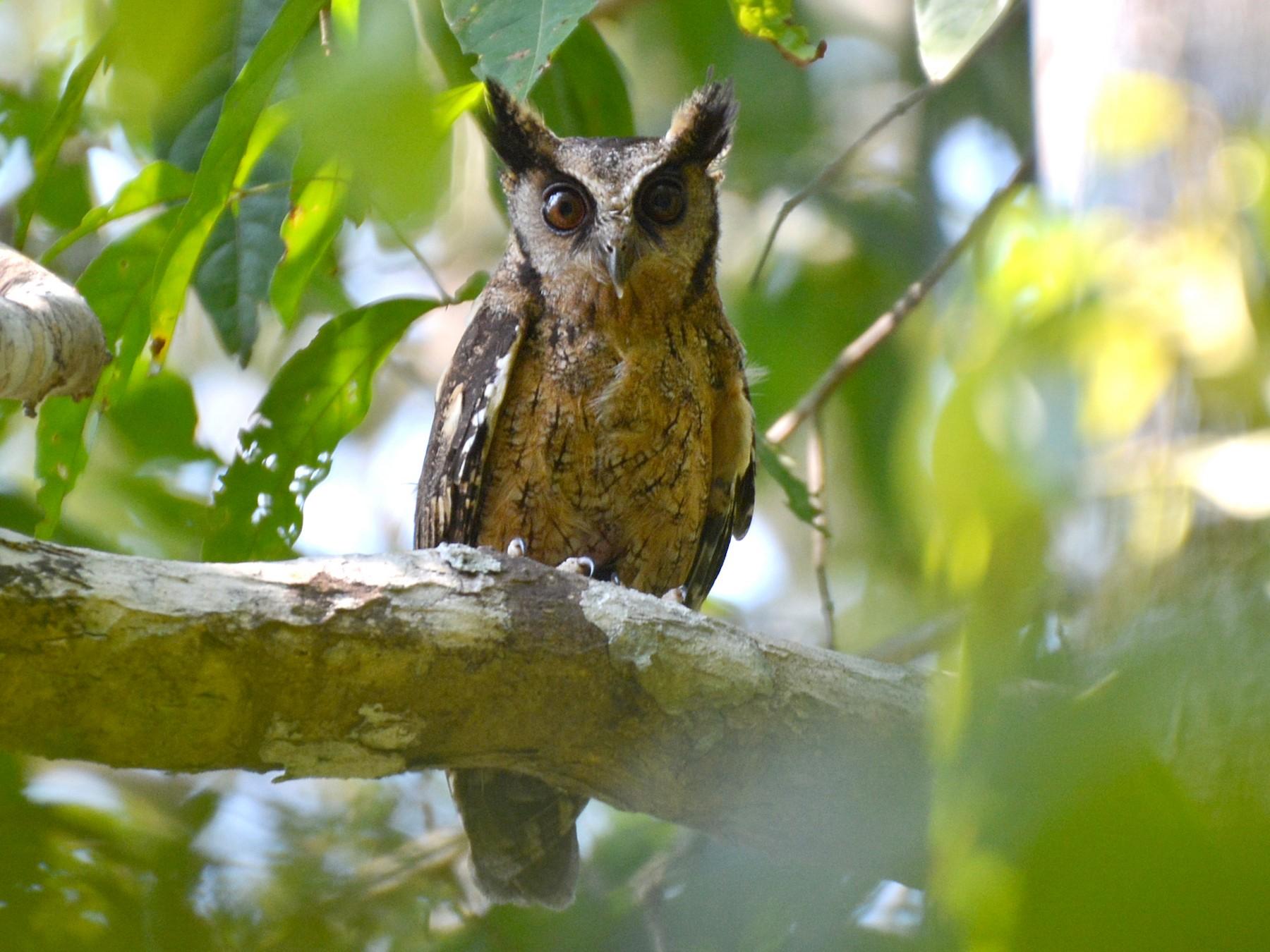 Tawny-bellied Screech-Owl - Henry Cook