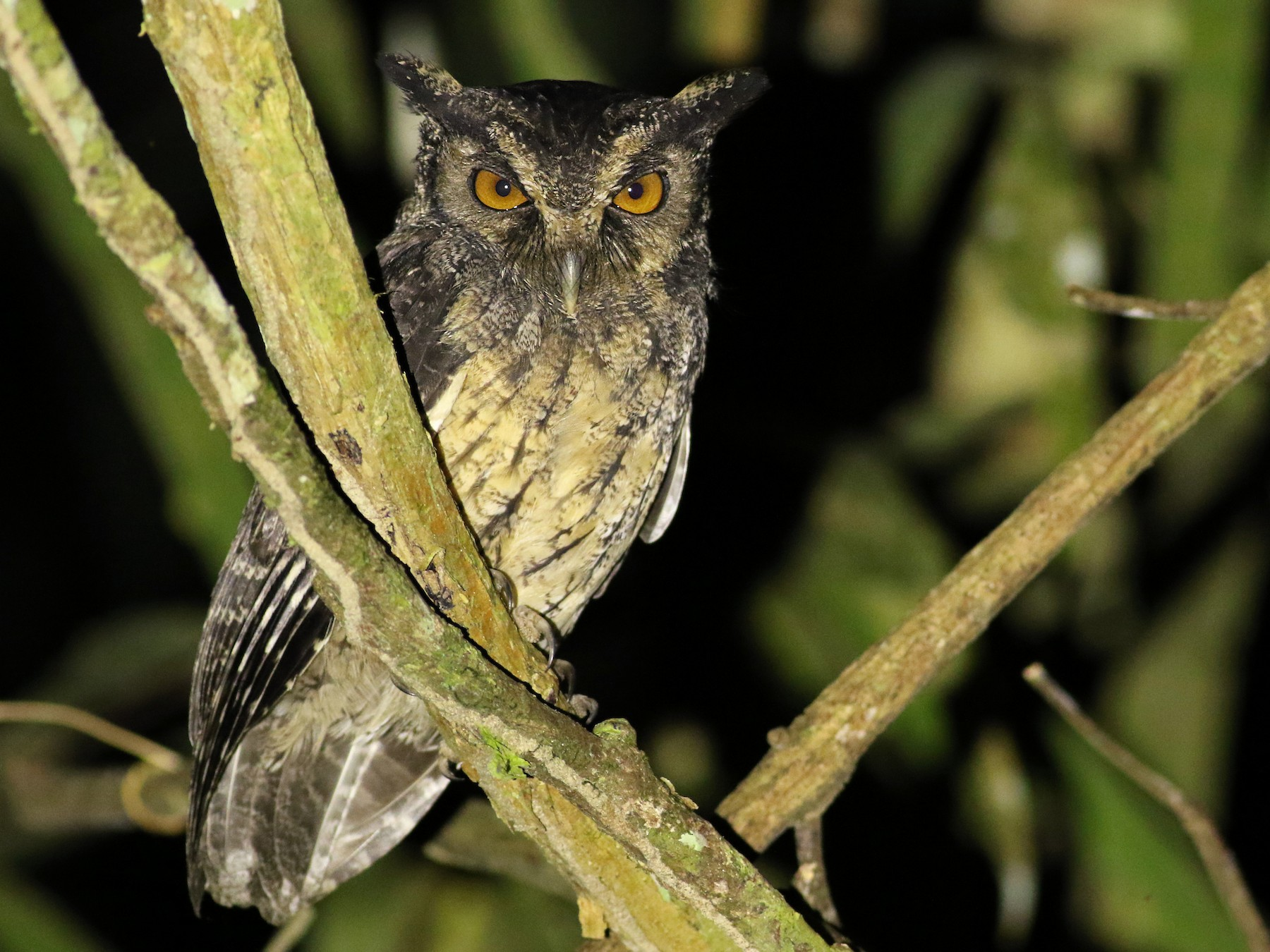 Tawny-bellied Screech-Owl - Luke Seitz