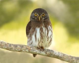 - Amazonian Pygmy-Owl