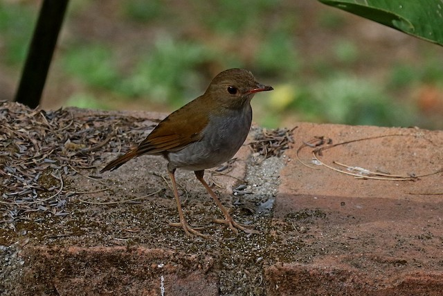 Orange-billed Nightingale-Thrush (Brown-headed)