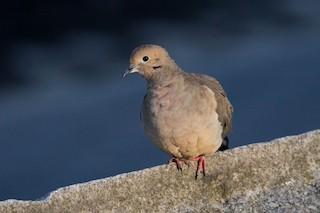 Mourning Dove, ML148556341