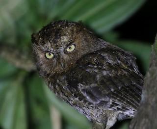 - Mindoro Scops-Owl