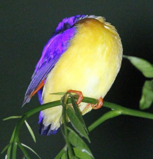 Dimorphic Dwarf-Kingfisher