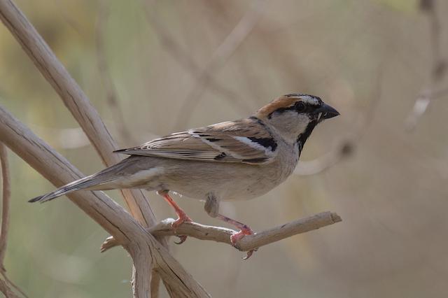 Saxaul Sparrow