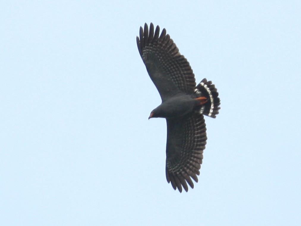 Slender-billed Kite - Marshall Iliff
