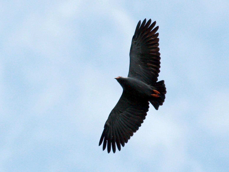 Slender-billed Kite - Jay McGowan