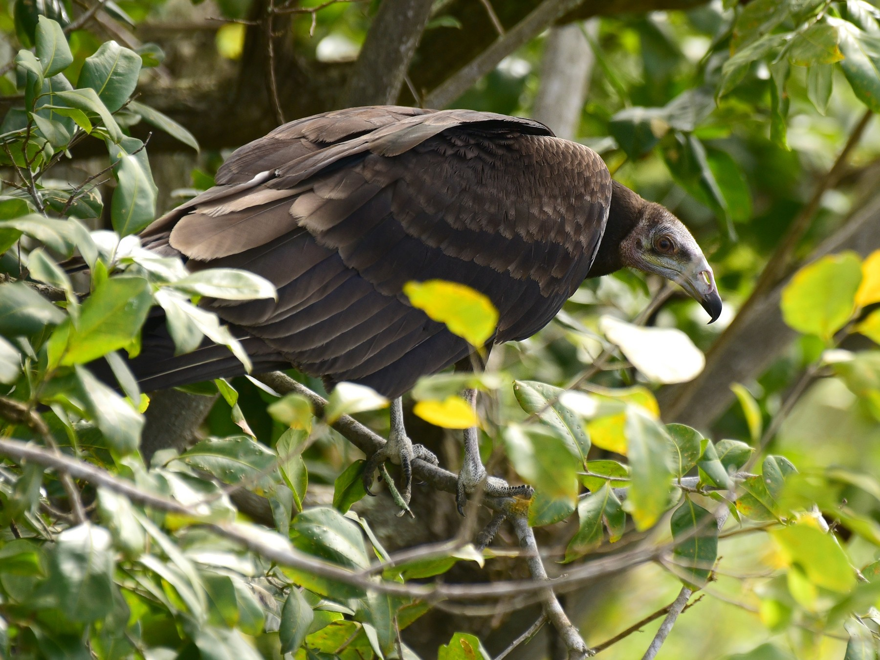 Greater Yellow-headed Vulture - Luiz Moschini