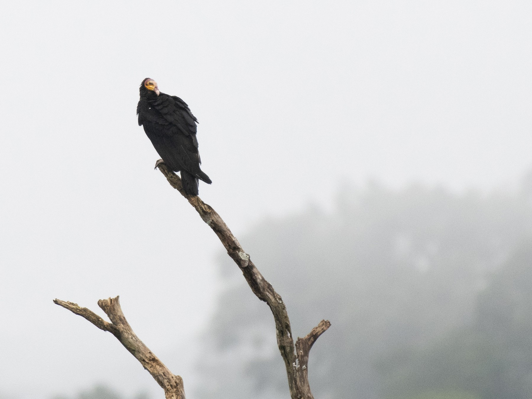 Greater Yellow-headed Vulture - EJ Jewett