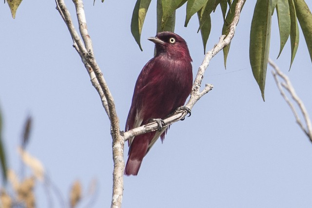 Adult male Pompadour Cotinga.