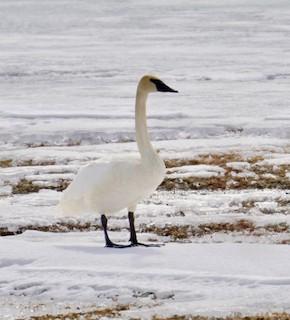 Trumpeter Swan, ML148759421