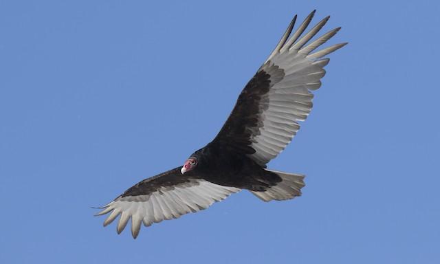 ©Brian Sullivan - Turkey Vulture (Northern)