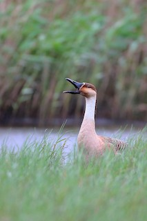 Swan Goose, ML148807501