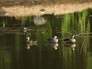 Blue-winged Teal, ML148825311