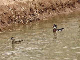 Wood Duck, ML148883251