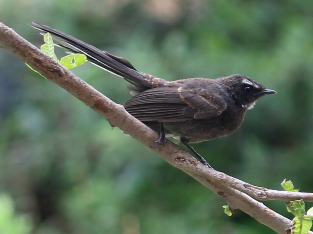 White-throated Fantail - Vyom Vyas