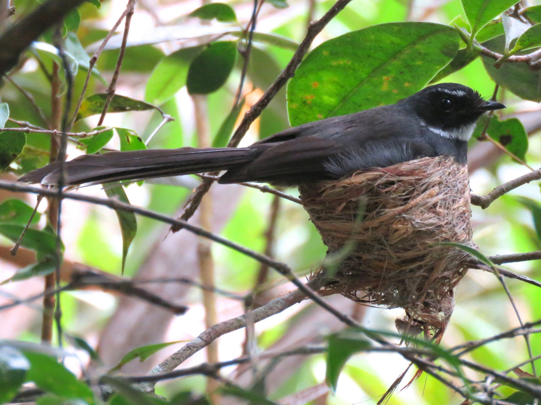 White-throated Fantail - Timothy Forrester