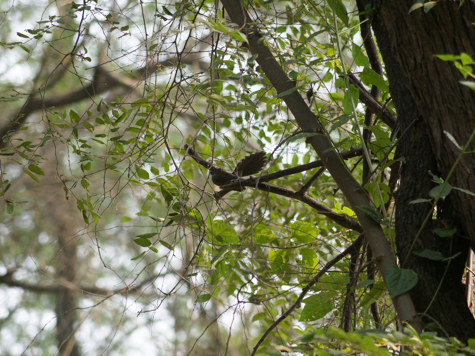 White-throated Fantail - Saravanan  Shunmugam