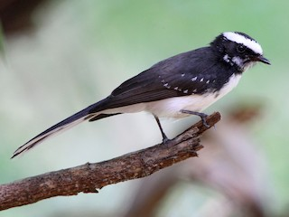 - White-browed Fantail