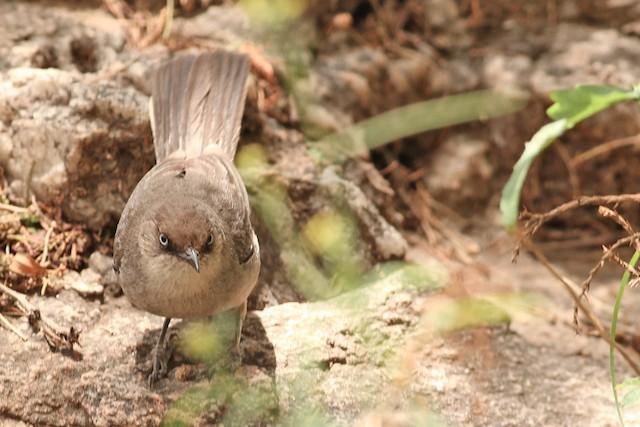 Yemen Warbler
