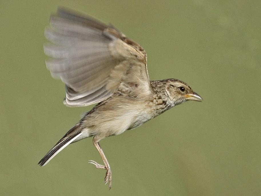 Singing Bushlark - Jens Eriksen