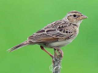 - Singing Bushlark
