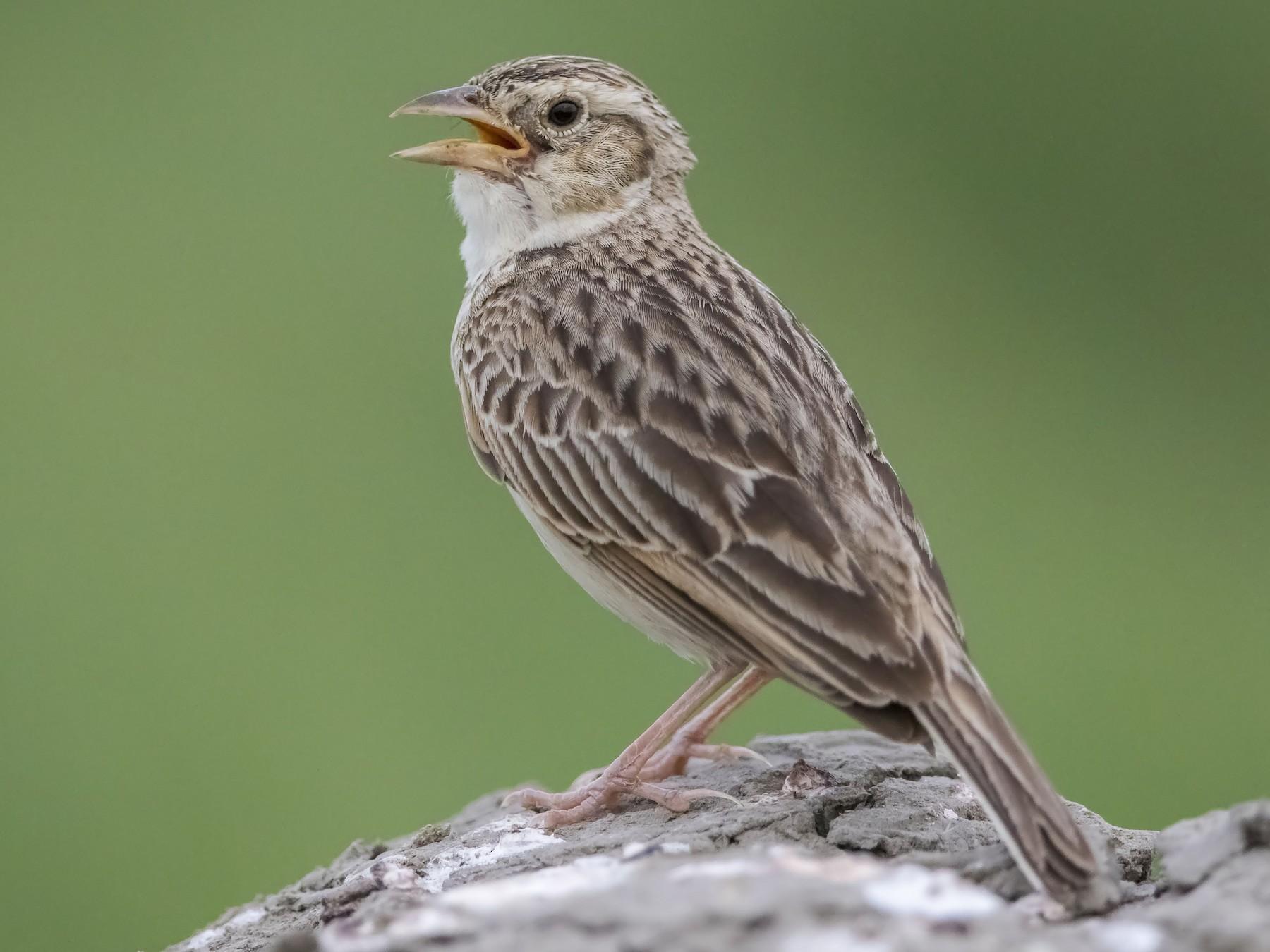 Singing Bushlark - Amol Marathe
