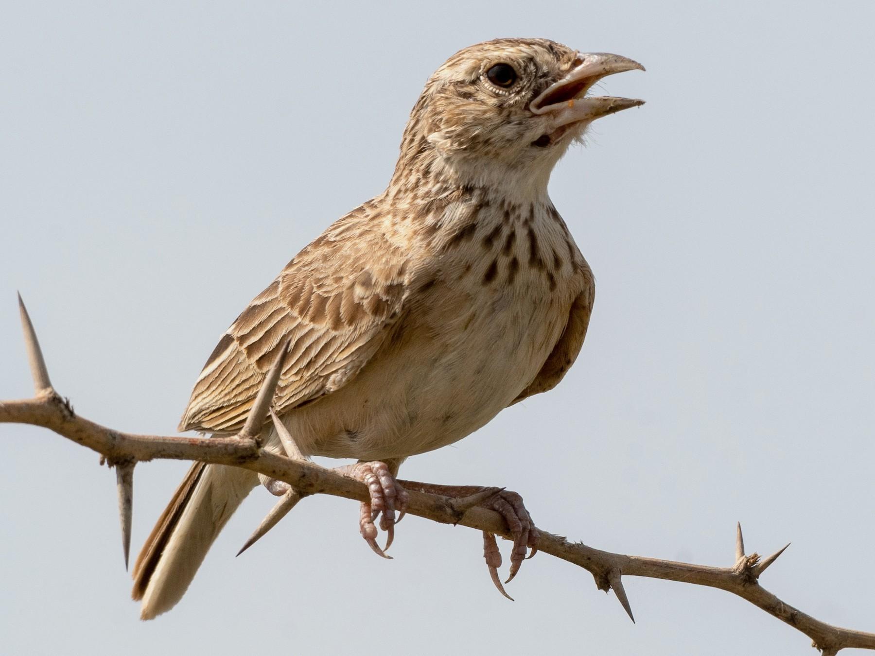 Singing Bushlark - Ana Paula Oxom