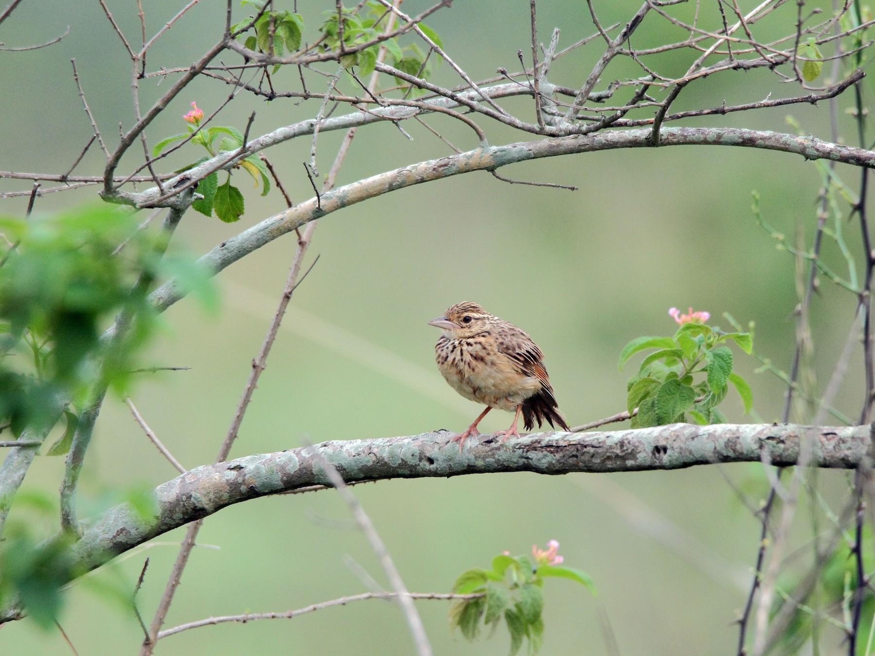 Jerdon's Bushlark - Harshith JV