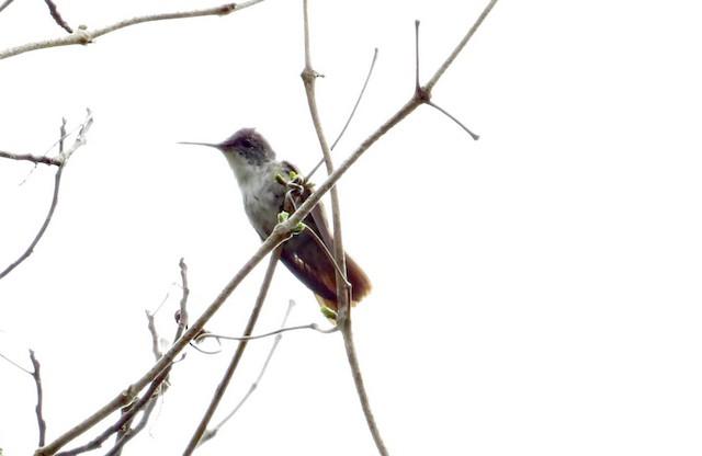 Azure-crowned Hummingbird (Azure-crowned)