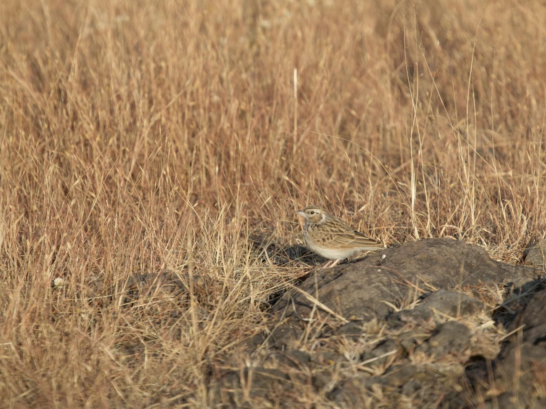 Indian Bushlark - Ritesh Dighe