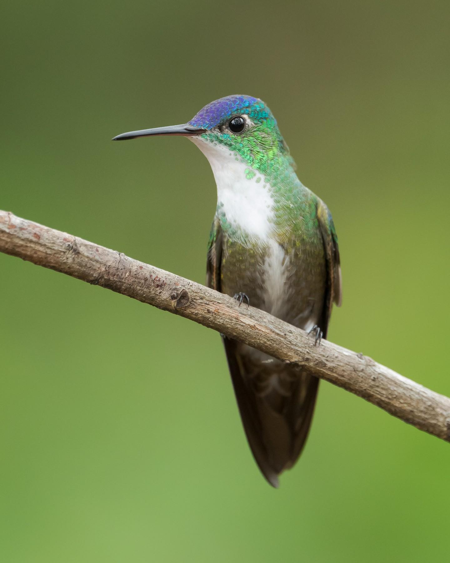Azure-crowned Hummingbird - Dorian Anderson