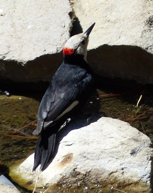 White-headed Woodpecker at water source.